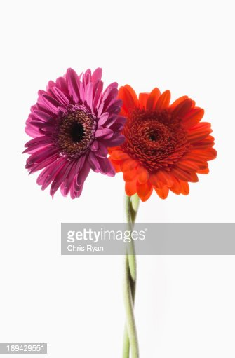 Two gerbera daisies intertwined