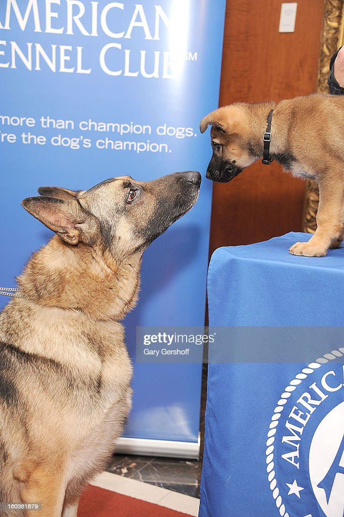 Two German Shepherds, Commander (L) and Tsunami pose for pictures as the American Kennel Club Announces Most Popular Dogs in the U.S. on January 30, 2013 in New York City.