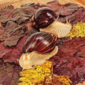 Two Giant african Achatina snails on colorful autumn grape leaf taken closeup.