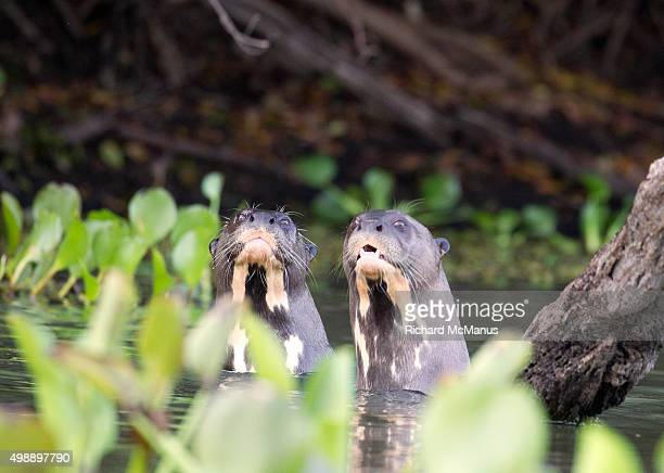 Two giant otters in river in the Pantanal