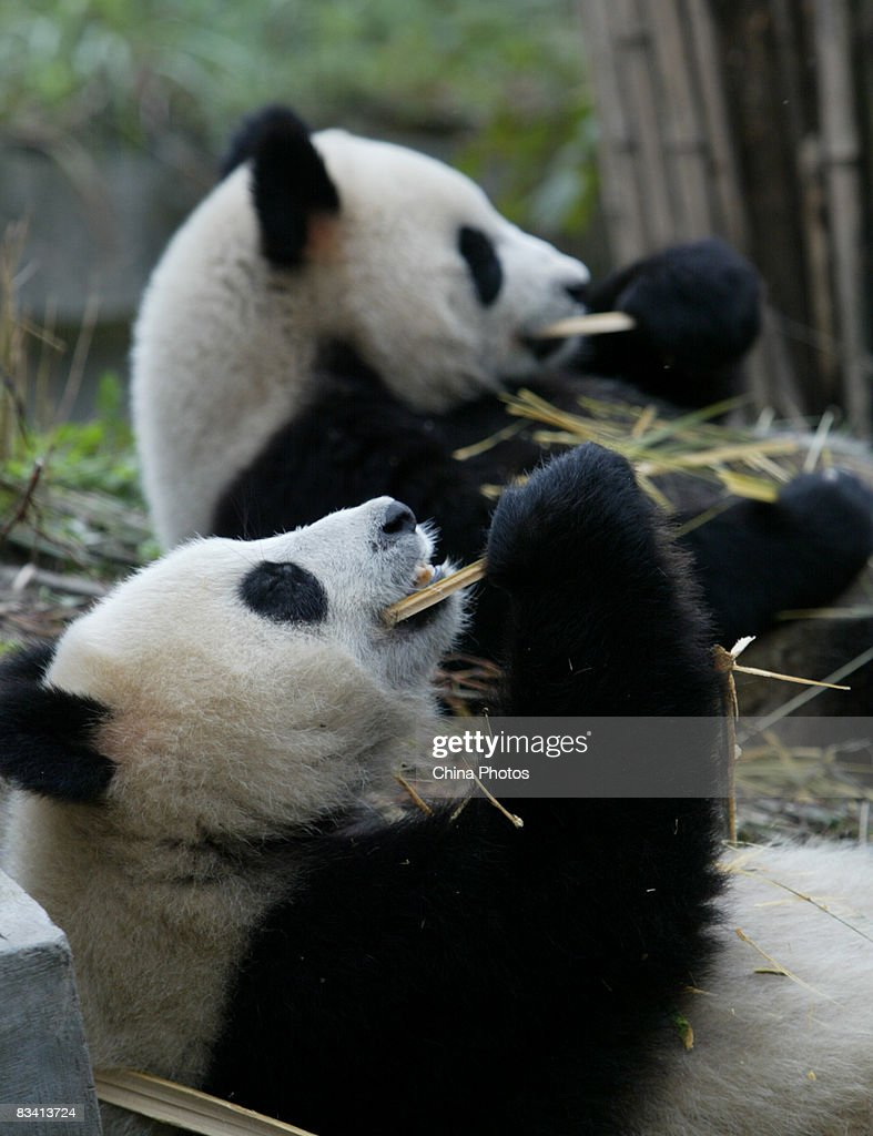 Two giant pandas eat bamboo at the Bifengxia base of China Giant Panda Protection and Research Center on October 24, 2008 in Yaan of Sichuan Province, China. They were transferred to the base after China Wolong Giant Panda Protection and Research Center in the Sichuan Province was severely damaged in the Sichuan earthquake.