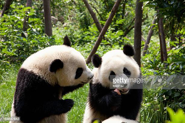 Two Giant Pandas in Chengdu, Sichuan Province, China forest