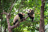 Two giant pandas playing in a tree