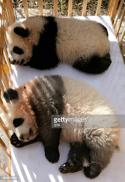 Two Giant Pandas take a nap at a zoo in Xian north China's Shaanxi province on August 15 2009 China's giant panda could be extinct in just two to...