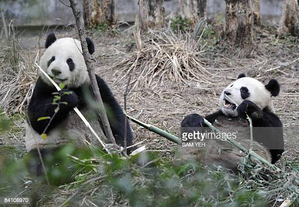 Two giant pandas Tuan Tuan and Yuan Yuan are seen at the Bifeng Gorge Base of the China Conservation and Research Center for the Giant Panda in Yaan...