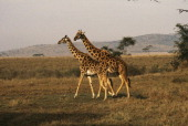 Two giraffe spotted in the Serengeti National Park December 1991