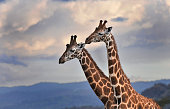 Two Giraffes Close up - Maasai Mara, Kenya.