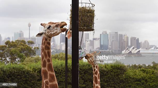 Two Giraffes enjoy their Christmas treats as they discover some giftwrapped food treats and other tasty decorations in their exhibit at Taronga Zoo...