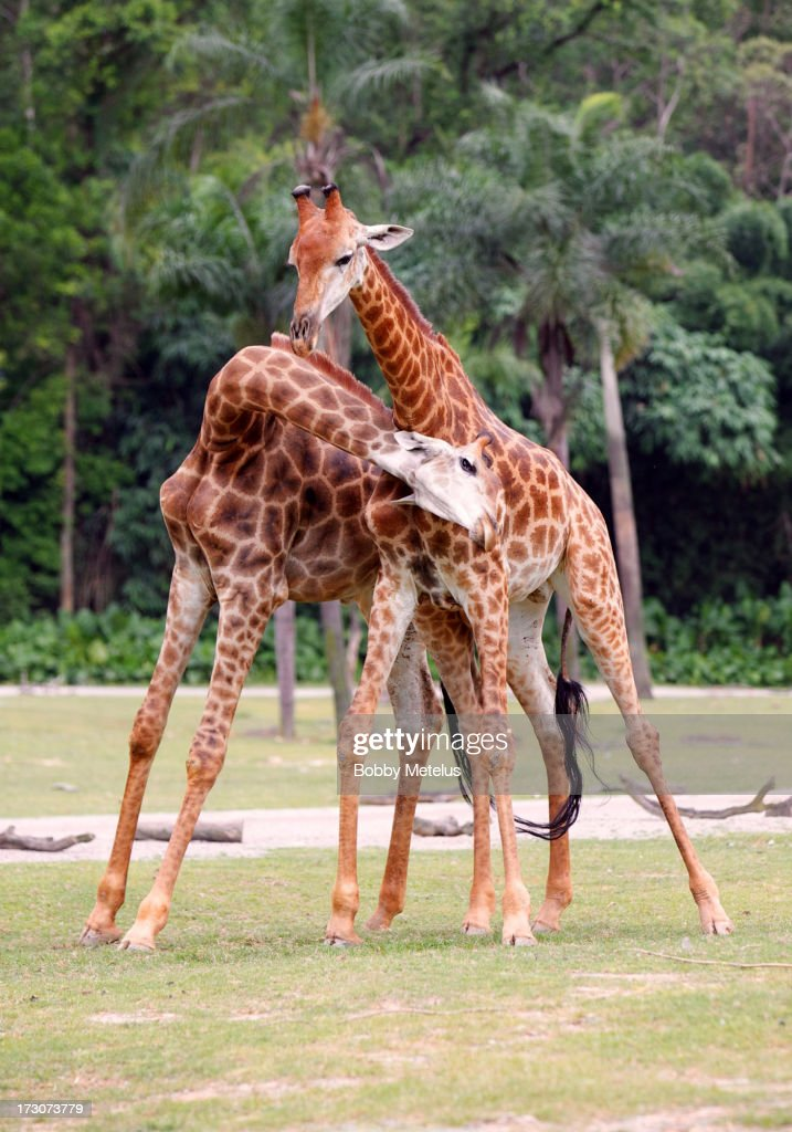 Two giraffes pictured at Chimelong Safari Park on July 6, 2013 in Guangzhou, China.