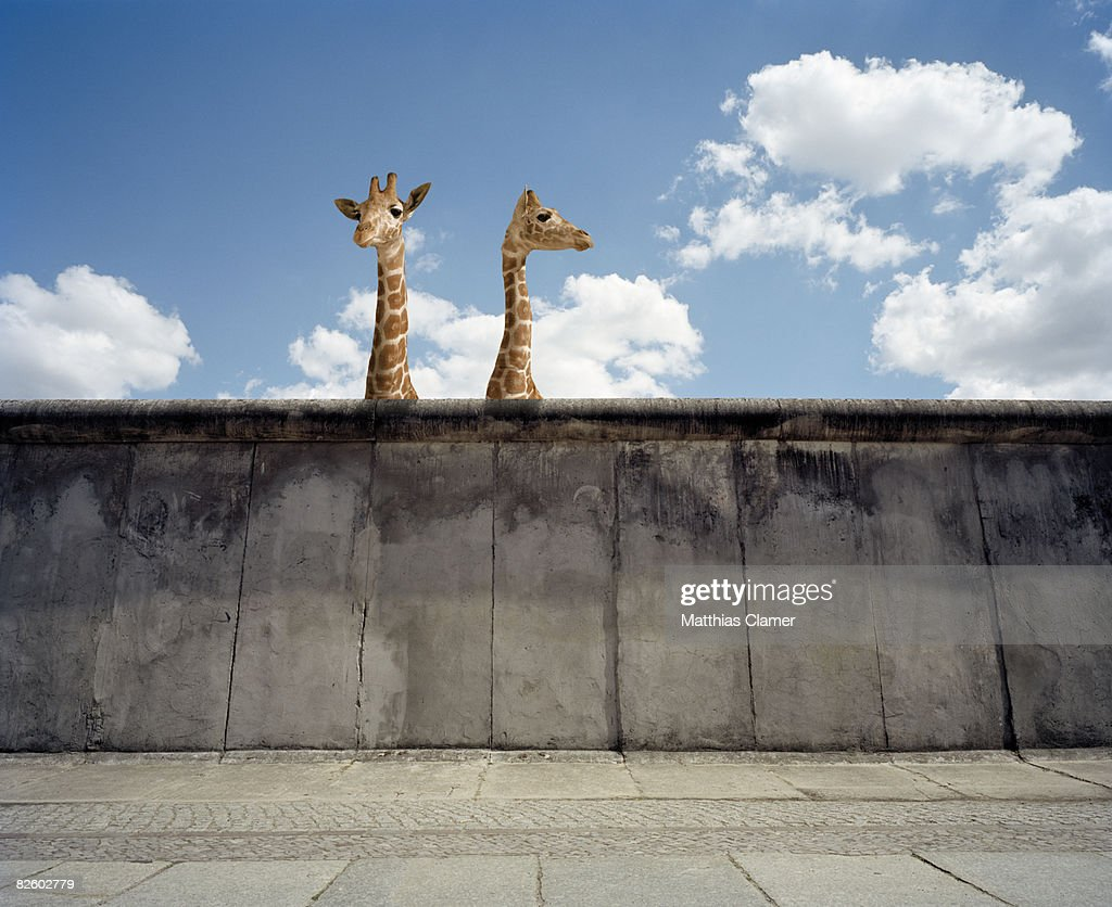 Two giraffes watching from a wall : Stock Photo