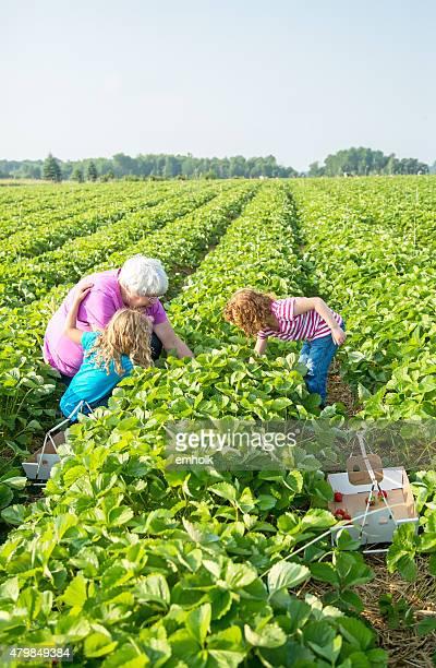 Zwei Mädchen & Oma pflücken Erdbeeren