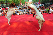 Two goats fight during a competition in Linquan County on July 9 2016 in Fuyang Anhui Province of China More than 100 goats competed in the goat...