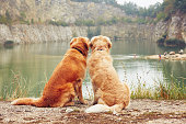 Lake for swimming. Two golden retriever dogs in old stone quarry.