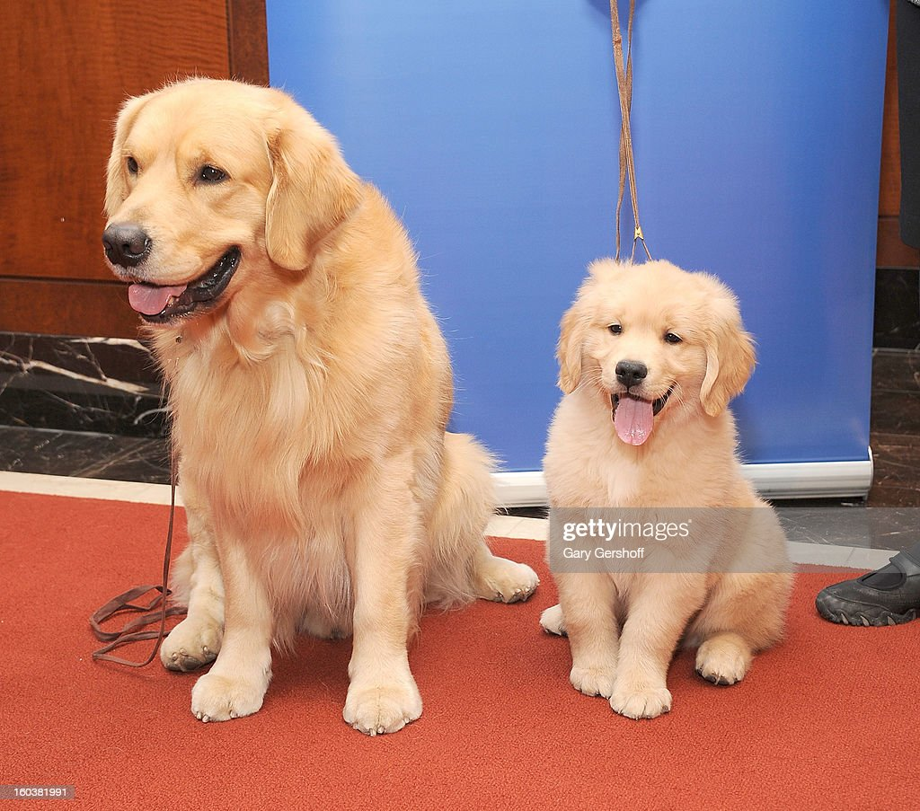 Two Golden Retrievers, Major (L) and Gibbs pose for pictures as the American Kennel Club Announces Most Popular Dogs in the U.S. on January 30, 2013 in New York City.