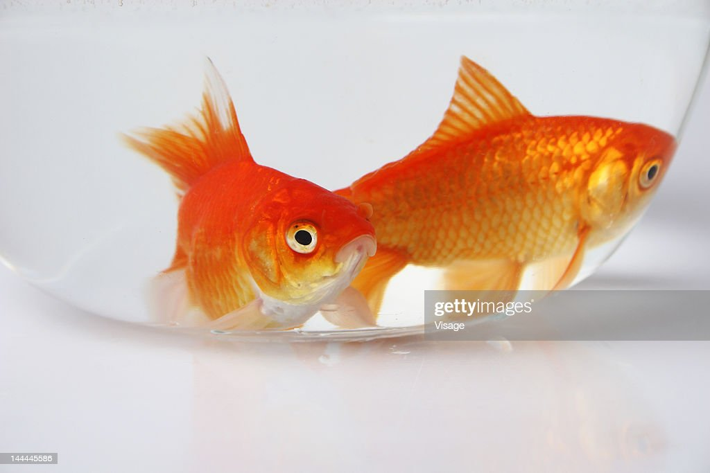 Two Goldfish in a bowl : Stock Photo