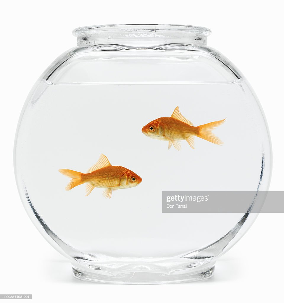 Two goldfish (Carassius auratus) in fishbowl, side view : Stock Photo