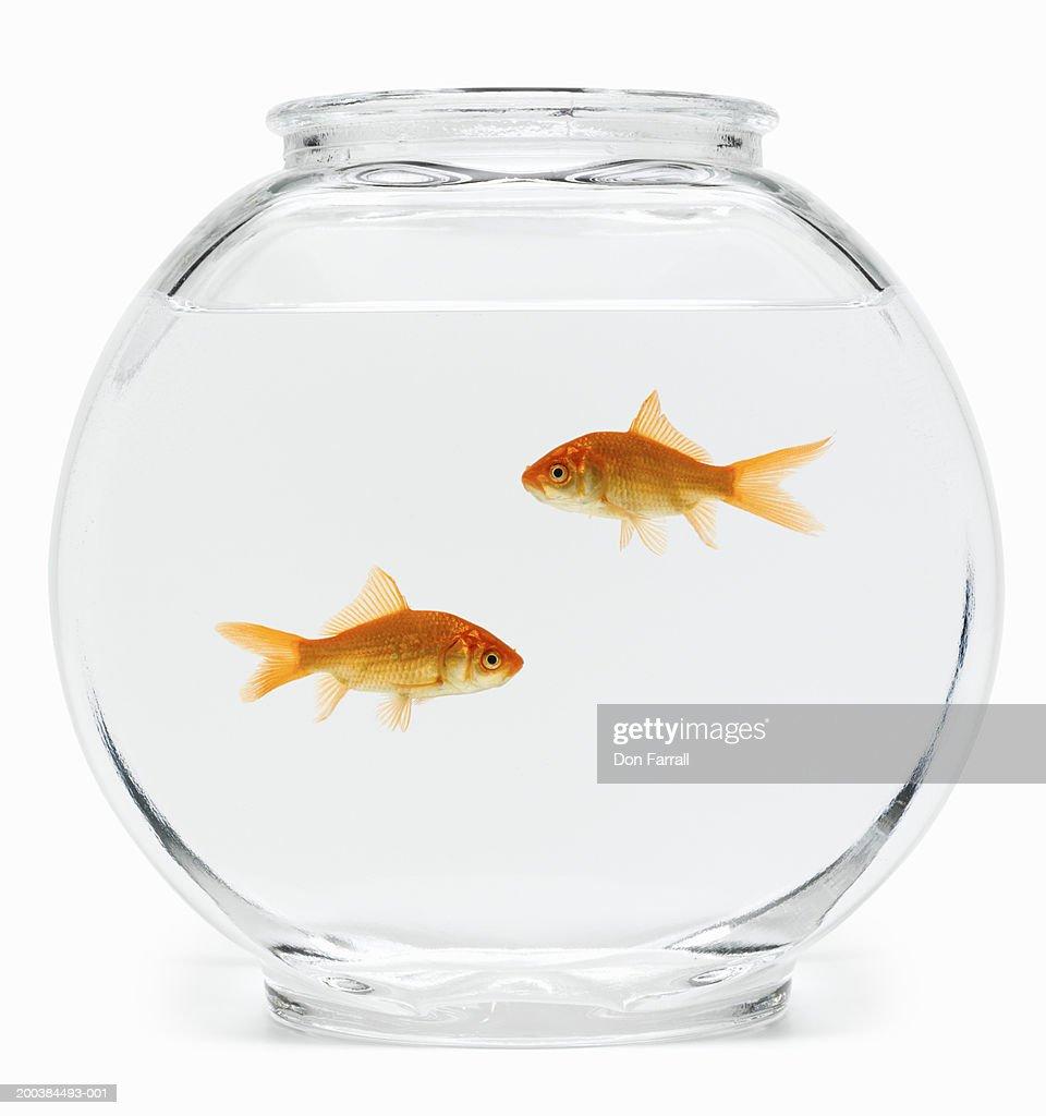 Two goldfish (Carassius auratus) in fishbowl, side view