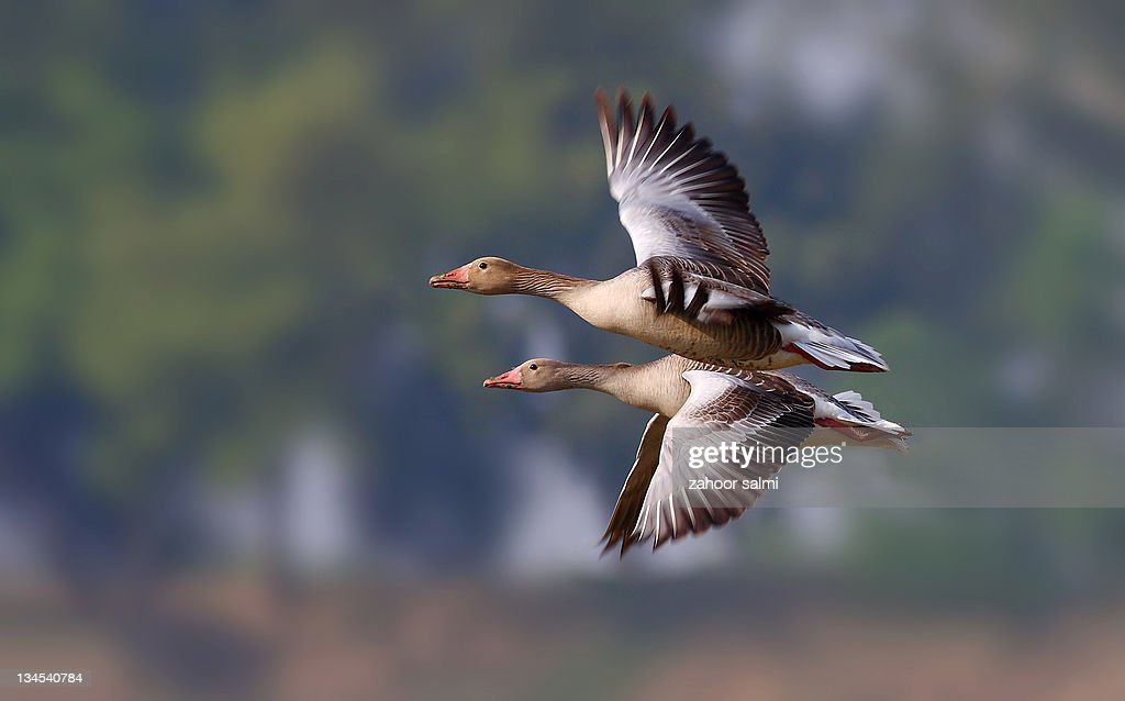 Two goose bird flying together