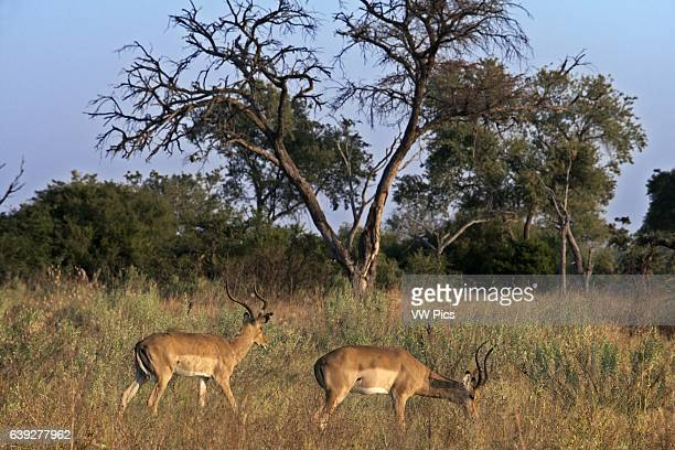 Two Grant gazelles graze and feed near Camp Khwai River Lodge by Orient Express in Botswana within the Moremi Game Reserve Wild Grant 's gazelle is a...