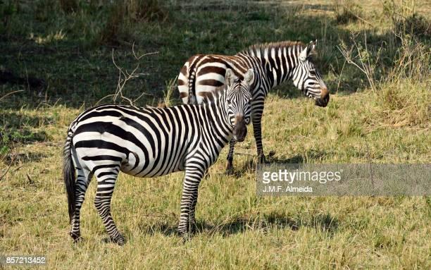 Two Grant's zebra (Equus quagga boehmi)