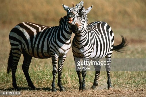Two Grant's zebras (Equus burchelli boehmi), Kenya : Stock Photo