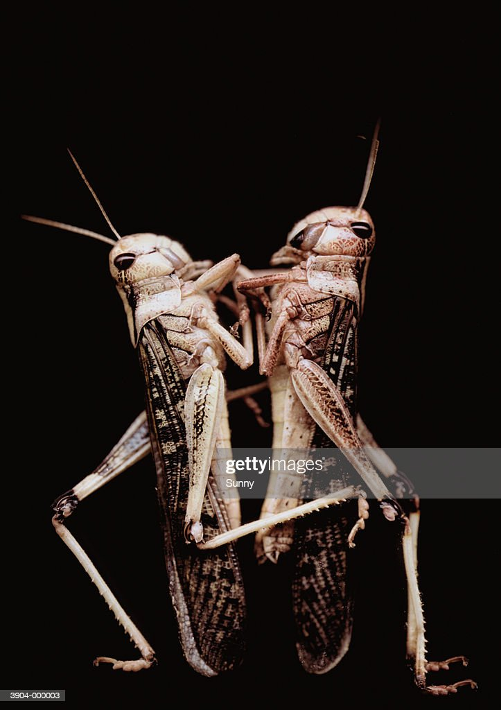 Two Grasshoppers : Stock Photo
