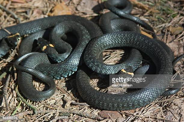 Two grass-snakes