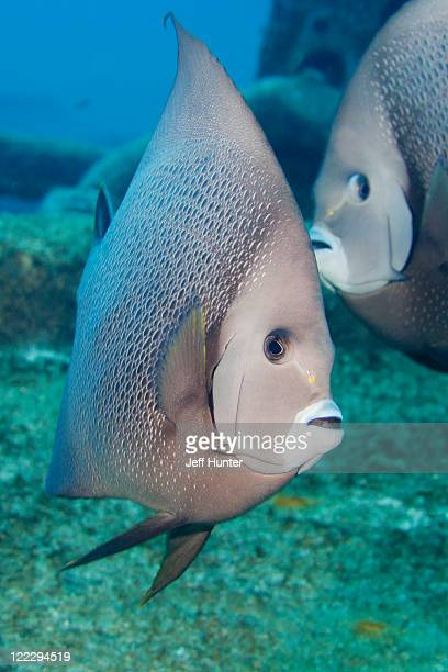 Two Gray Angelfish together on coral reef
