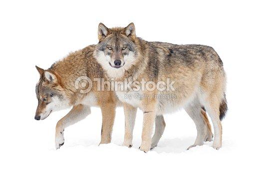 Deux loups gris : Photo