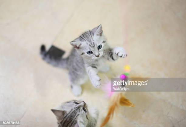 Two gray-white kitten play with a cat feather toy
