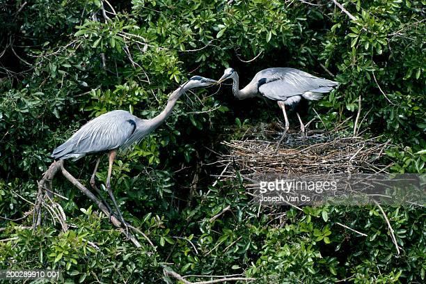 Two great blue herons (Ardea herodias) building nest in tree