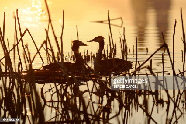 Two great crested grebes swim near their nest on a lake during sunrise in the town of Glubokoye some 170 km northwest of Minsk on May 3 2017 / AFP...