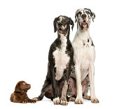 Two Great Danes sitting and looking away and puppy chocolate labrador staring at them, isolated on white