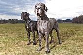 Zwei Deutsche Doggen posieren auf einer Wiese