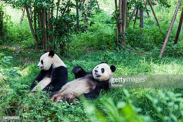 Two Great Pandas - Chengdu, Sichuan Province, China