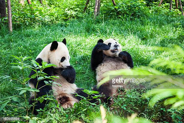 Two Great Pandas - Chengdu, Sichuan Province, China