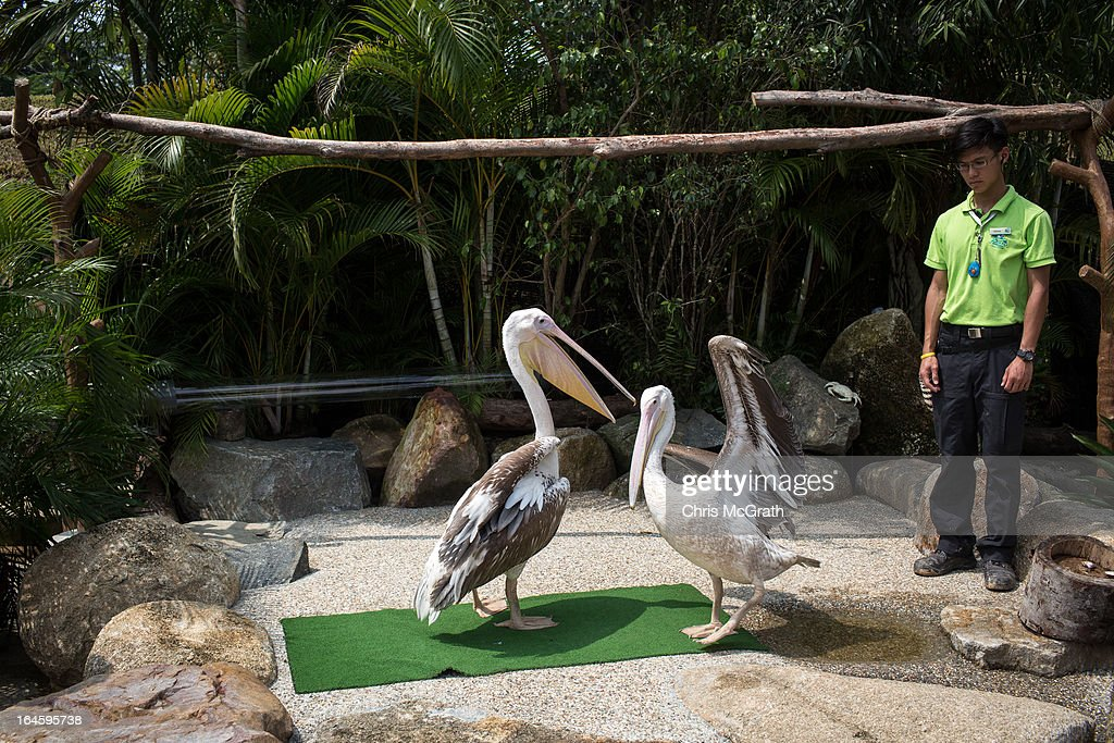 Two Great White Pelican's from Africa play around with each other during a media tour ahead of the opening of River Safari at the Singapore Zoo on March 25, 2013 in Singapore. The River Safari is Wildlife Reserves Singapore's latest attraction. Set over 12 hectares, the park is Asia's first and only river-themed wildlife park and will showcase wildlife from eight iconic river systems of the world, including the Mekong River, Amazon River, the Congo River through to the Ganges and the Mississippi. The attraction is home to 150 plant species and over 300 animal species including 42 endangered species. River Safari will open to the public on April 3.