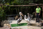 Two Great White Pelican's from Africa play around with each other during a media tour ahead of the opening of River Safari at the Singapore Zoo on...