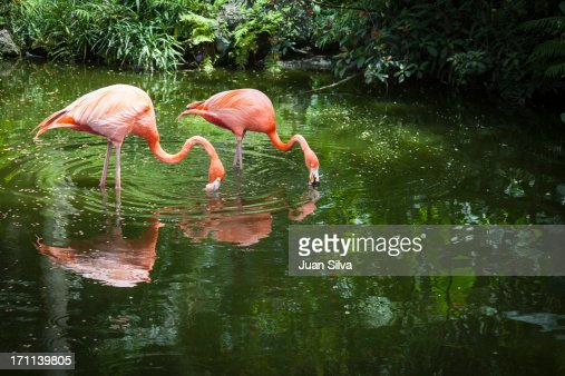 Two greater flamingoes eating in a pond