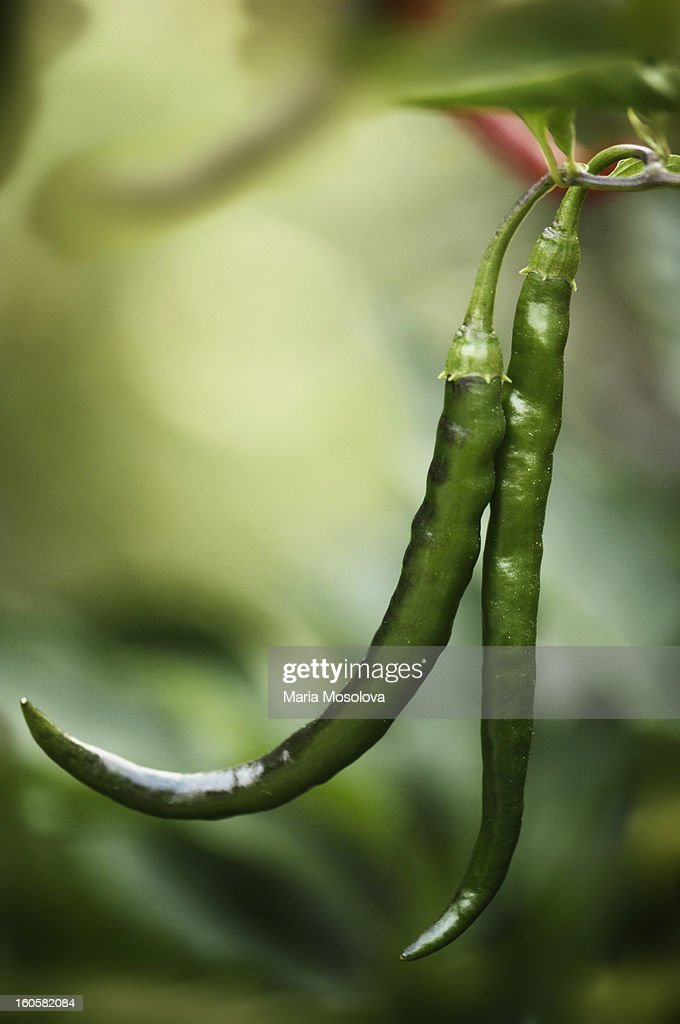 Two Green Cayenne Peppers : Stock Photo