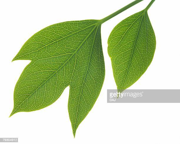 Two Green Leaves, Close Up, High Angle View