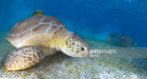 two Green sea turtle Chelonia mydas eating on sea grass bed in Akumal bay Mexico