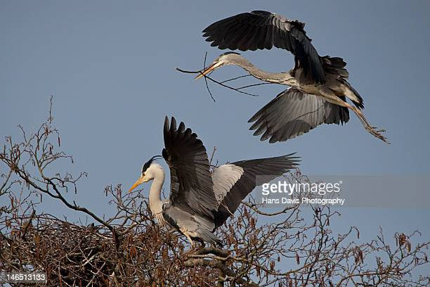 Two grey heron nest building