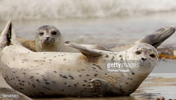 Two grey seals chilling together on a beach