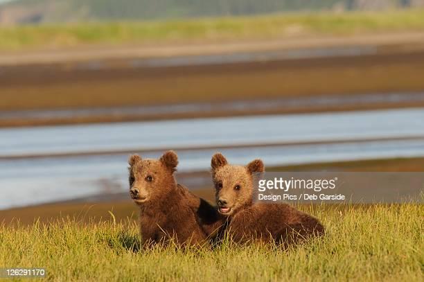 two grizzly bear (ursus arctos horribilis) cubs