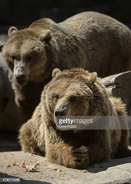 Two grizzly bear eat frozen fruits on a hot summer day at Madrid's zoo on July 2 2015 Spain is heading for a new heatwave which will last for at...