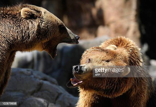 Two grizzly bears fight at Madrid's zoo on July 7 2010 on a hot summer day AFP PHOTO/DANI POZO