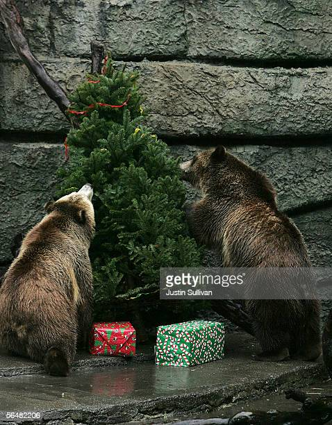 Two grizzly bears inspect a tree decorated with fruit rollups and wrapped box filled with treats at the San Francisco Zoo December 22 2005 in San...