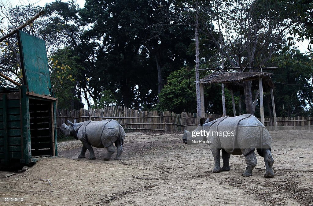 Two hand reared Rhino make its way to container prior to its release at the Manas National Park from the Kaziranga National Park in Golaghat district...