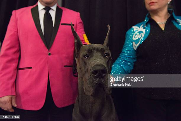 Two handlers ready their Great Dane on the sidelines before competition on the second day of the 140th annual Westminster Kennel Club Dog Show on...